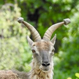 Blue Sheep horn protectors