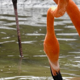 Unique Flamingo Beak