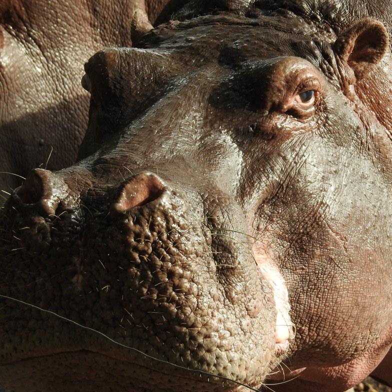 Hippo ears, eyes & nose