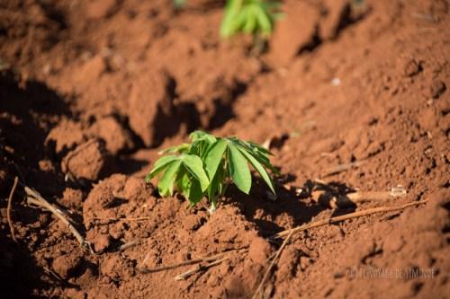 vallée de vinales plants de tabac