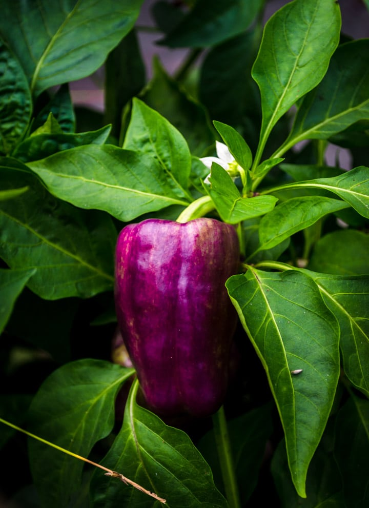 Purple Pepper at Juniper Hill Farms
