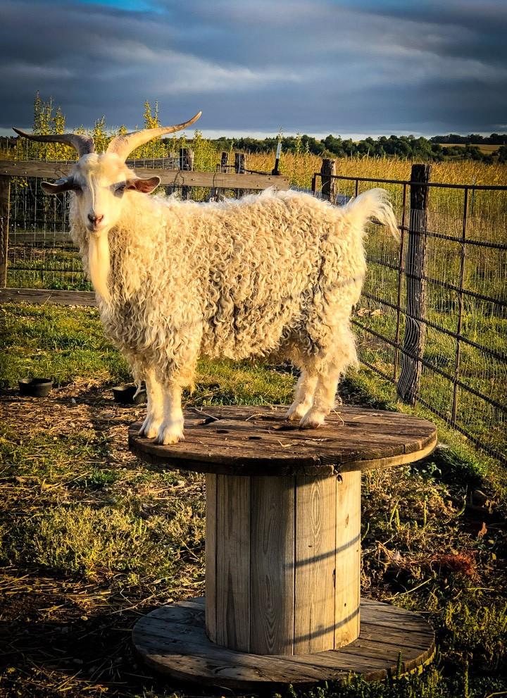 Pygora goat standing