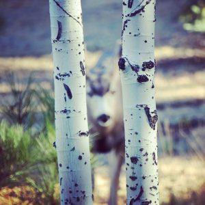 Mule deer in a yard in Flagstaff, Arizona.