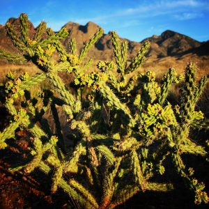 Cholla with New Mexico's Organ Mountains in the distance.