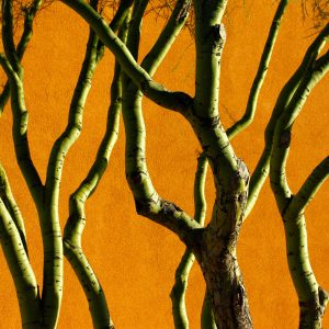Palo verde trunks and branches against orange stucco wall in the community of Civano.