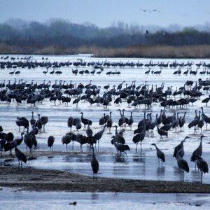 Wintering Sandhill cranes, Platte River, central Nebraska.