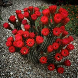 The gosh darn bloomingest torch cactus I've ever seen!