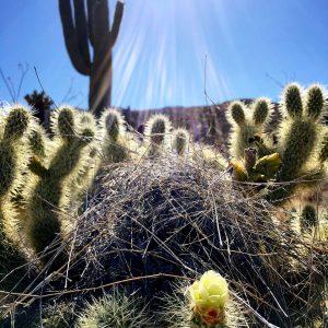 Cactus wren nest in blooming teddy bear cholla at Saguaro National Park East.