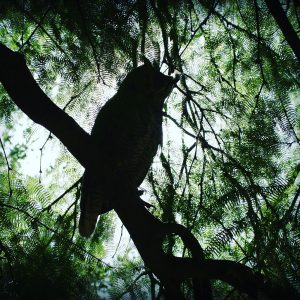 Great horned owl in a large mesquite tree in the community of Civano, Tucson.