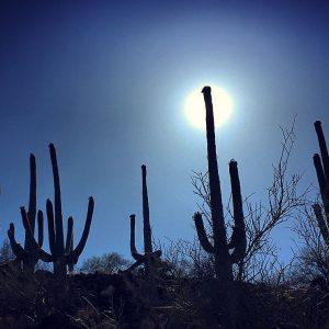 Sentinel saguaros along the road up Tumamoc Hill in Tucson.