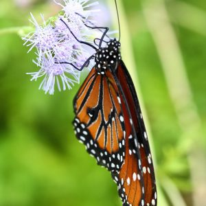Queen butterfly on Gregg's mist in Tucson, Arizona.