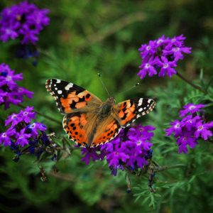 American lady butterfly on verbena in southern Arizona.
