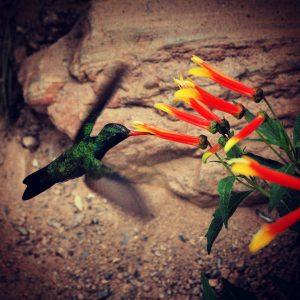 Hummingbird in the aviary at the Arizona-Sonora Desert Museum.