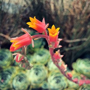 Aloe bloom on the campus of the University of California, Davis.