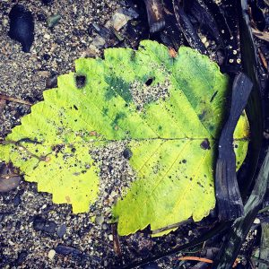 A leaf on the beach near Bellingham, Washington.