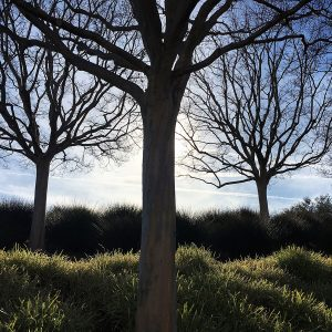 Three trees at the Getty Musuem in Los Angeles.