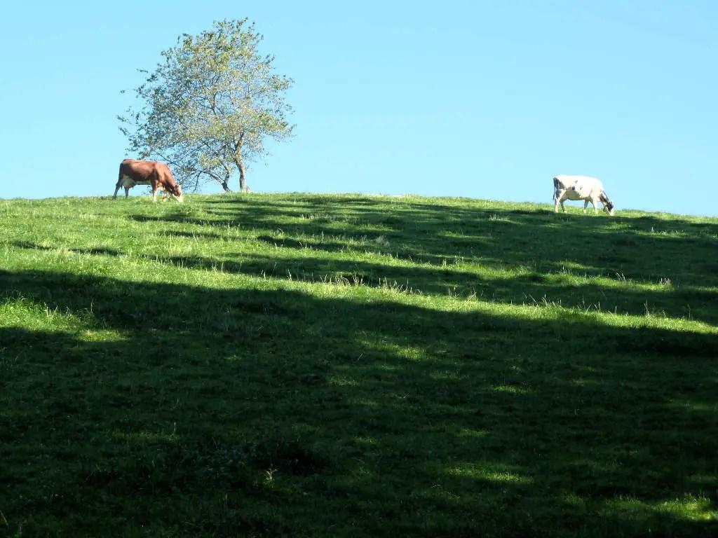 westweg-harkhof-kuehe