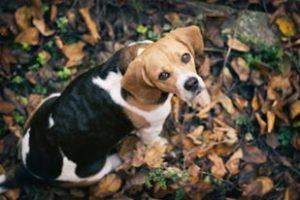 Zum Beagle