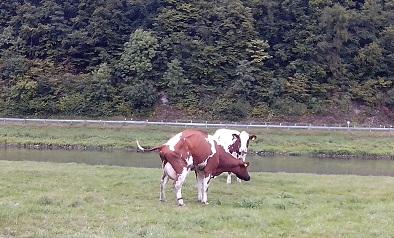 Eine Kuh mit Buckel, oder was ist hier los?