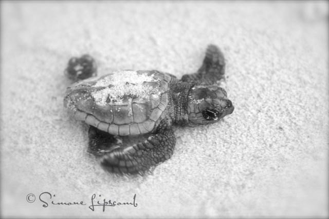 turtle bw