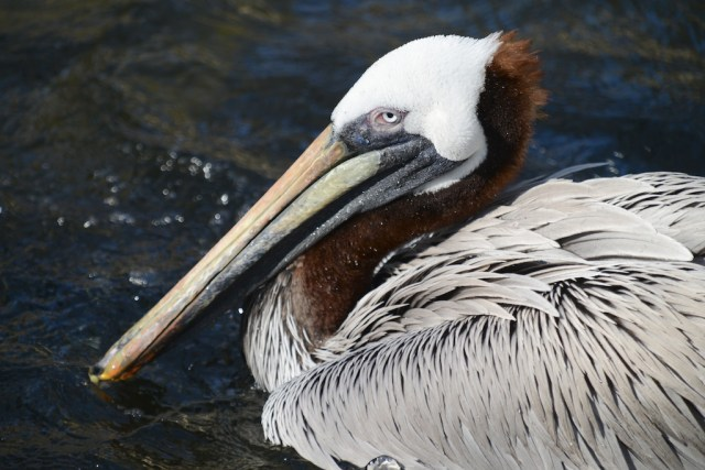 Brown Pelican by Simone Lipscomb