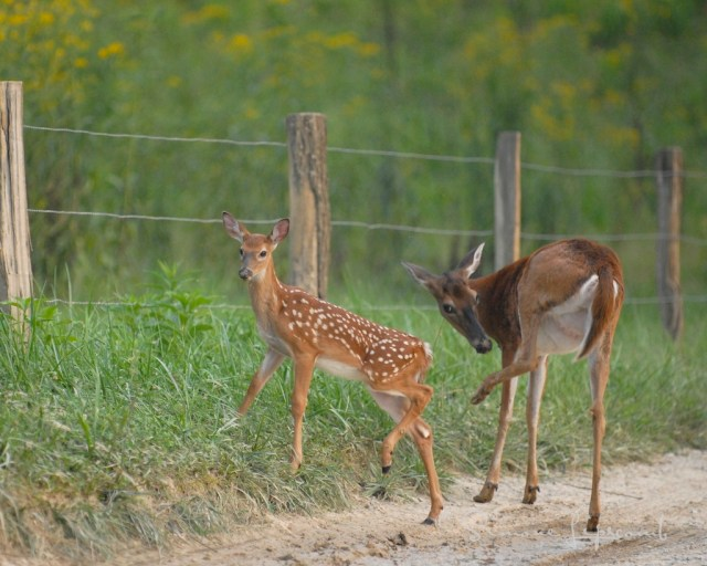 Doe and fawn taken in Smoky Mountain National Park....one of my favorite images