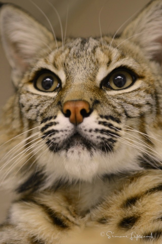 Image of Sampson, a rescued bobcat that somebody had illegally and had all four paws declawed. He lives at Emerald Coast Wildlife Rescue Center