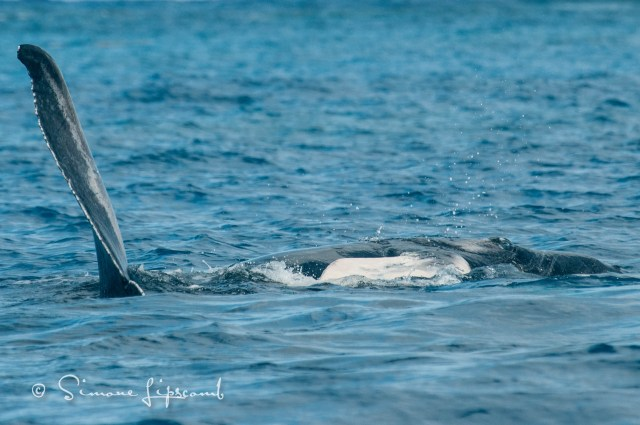 Juvenile attempting to fin slap...note her eye in the far right of the image