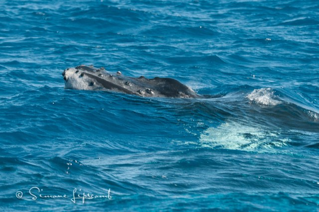 Baby humpback's head at the surface