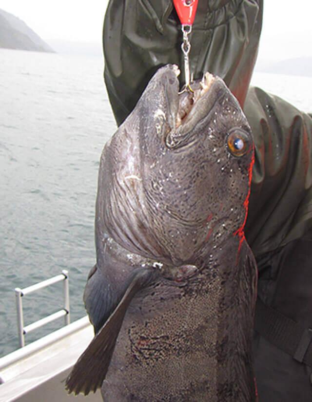 DFD-zeewolf-vis-met-tandjes