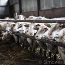 Schapenboerderij Leeuwarden| simoneskitchen.nl