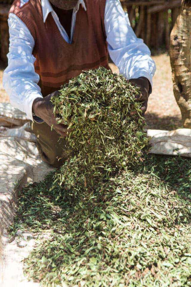 Na het oogsten wordt de stevia gedroogd