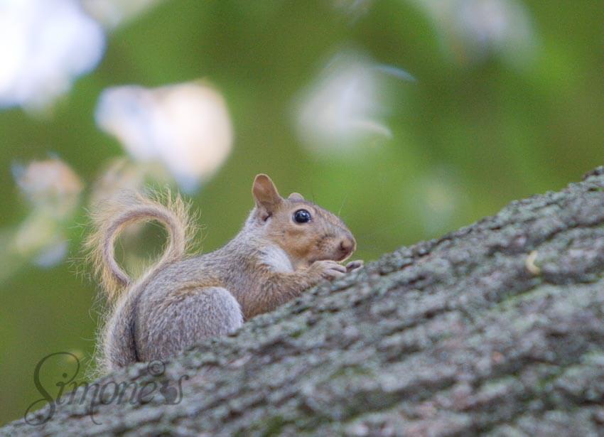 Eekhoorn in Central Park | simoneskitchen.nl
