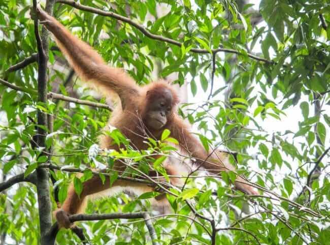 De orang oetans van bukit lawang | simoneskitchen.nl