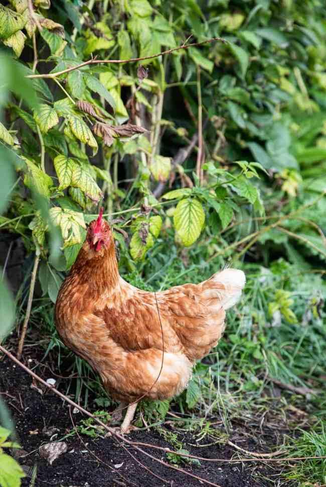 Kip in de boomgaard
