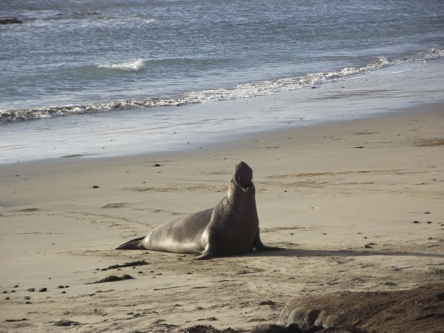 Elephant seal adult