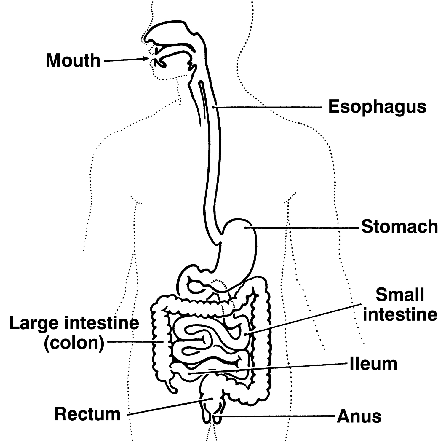 Labeled Diagram Of The Esophagu