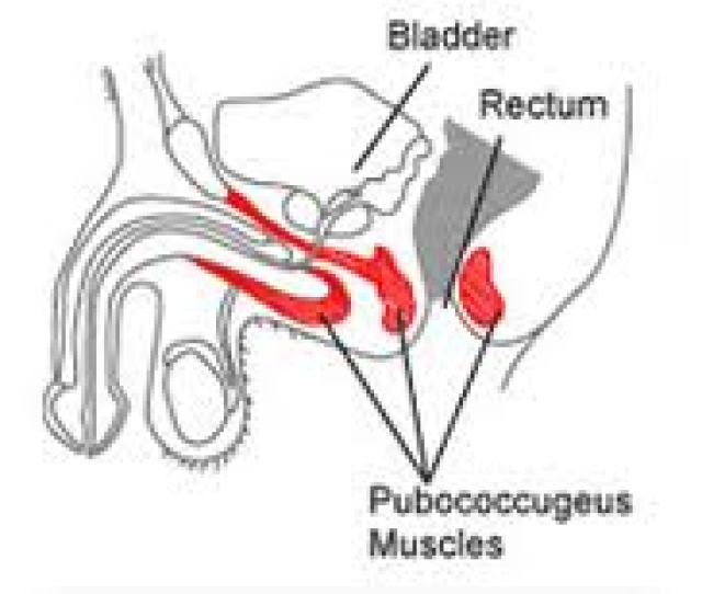 Use Kegel Exercises To Strenghten The Male Pubooccygeus Muscle