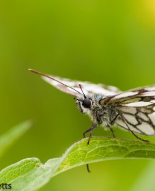 A photograph of a marbled white butterfly sitting on a leaf
