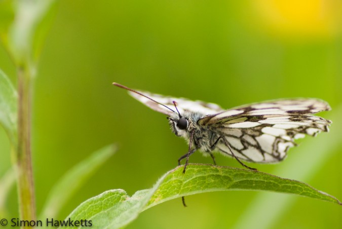 A picture of a Marbled white butterfly sitting on a leaf
