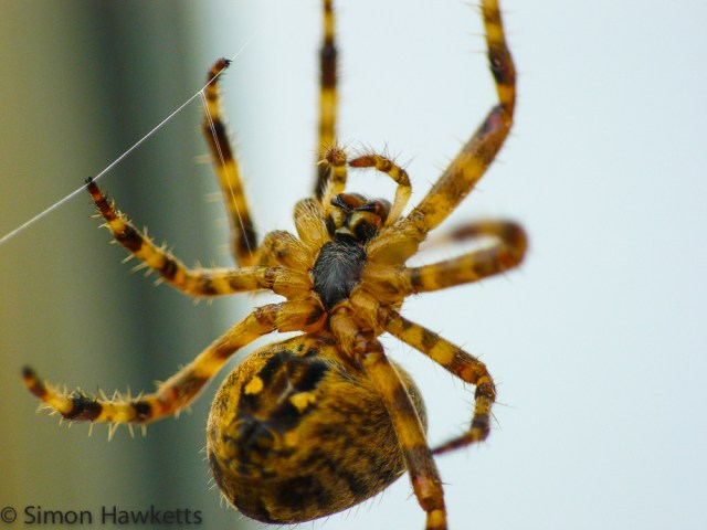 A macro shot of a garden orb spider