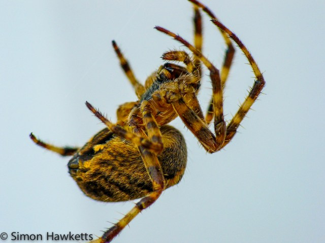 Side view of a Garden Orb Spider