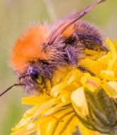 Tamron 90mm f/2.8 macro picture - Bumble bee extreme closeup