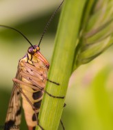 Tamron 90mm f/2.8 macro picture - Scorpion fly
