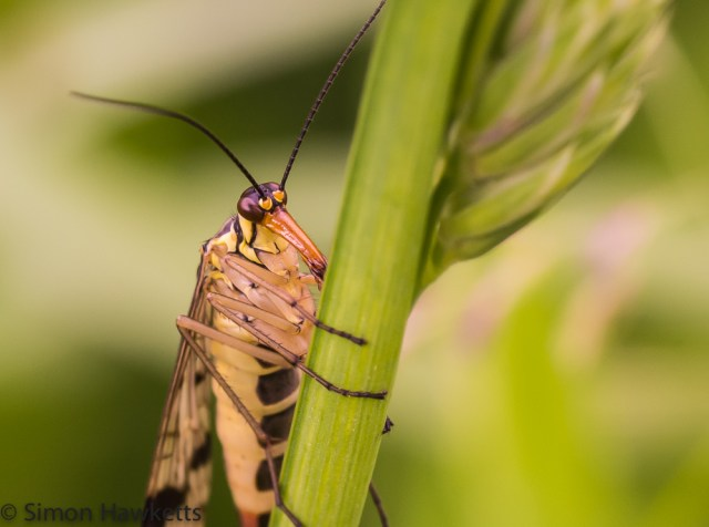 Macro photography - Scorpion Fly 1