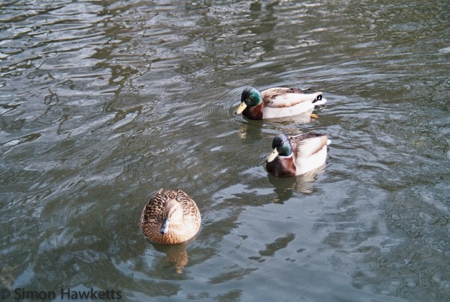 Minolta Dynax 5 sample pictures - Ducks