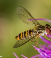 Macro photography - Hoverfly 3