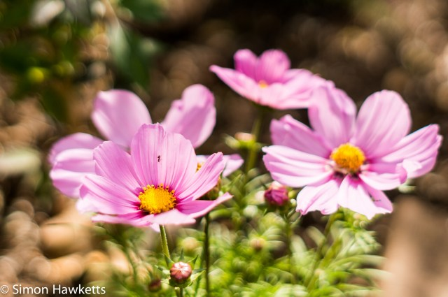 Garden pictures with Takumar standard lenses - Cosmos