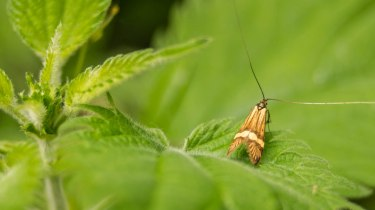 Macro pictures without a macro lens - Golden micro moth