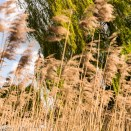 Pictures from Bressingham gardens in Norfolk - Reeds